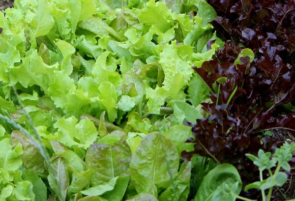 Insalatina verde rossa e bionda ortodec for Insalata da taglio
